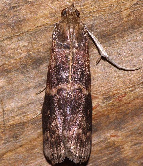 Moth ID - Euzophera