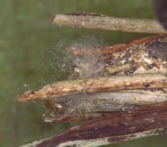Psychidae, fluffed hairs - Psyche casta - female