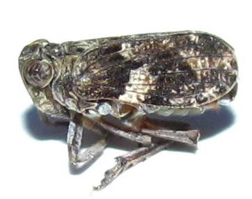 juniper homopteran - Thionia
