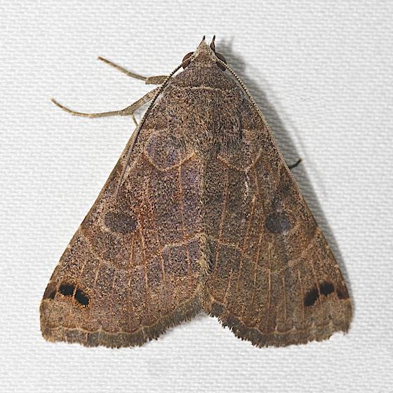 Hodges#8498 - Isogona scindens