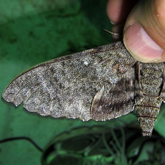 Unknown Manduca - Manduca muscosa