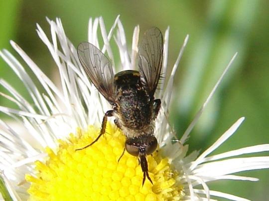 Hunchback Fly - Toxophora amphitea