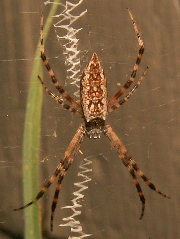 Spider - Argiope aurantia