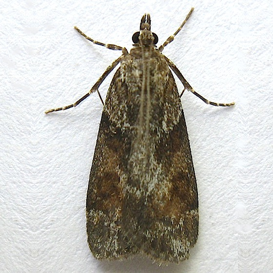 Tricolored Cosipara Moth - Cosipara tricoloralis