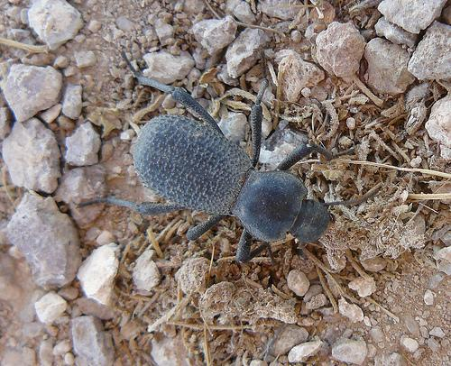 Darkling Beetle - Cibdelis blaschkei? - Cryptoglossa muricata