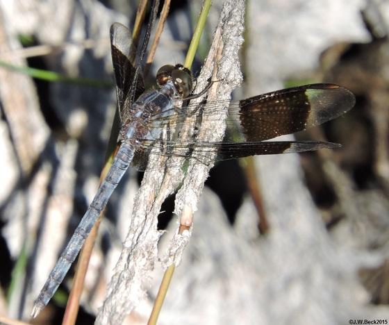 Band-winged Dragonlet - Erythrodiplax umbrata - male