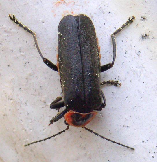Firefly Mimic - Atalantycha neglecta