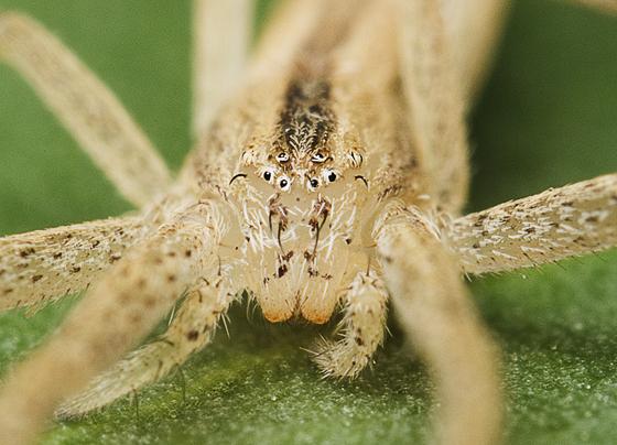unknown spider - Tibellus