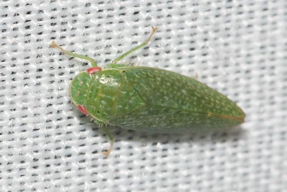 Hopper - Rugosana querci