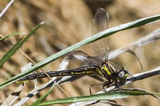 Dragonfly - Phanogomphus oklahomensis - female