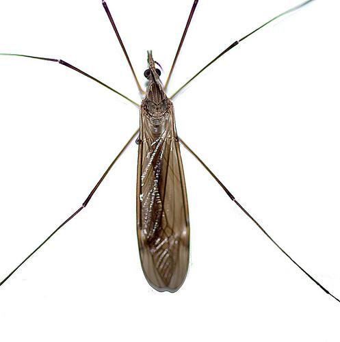 long legged insect bugguide net. Black Bedroom Furniture Sets. Home Design Ideas