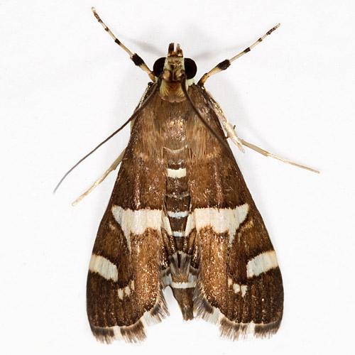 Spoladea recurvalis - Hawaiian Beet Webworm - Spoladea recurvalis