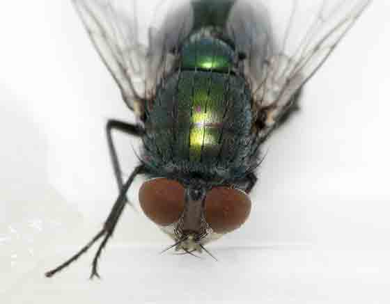 Head and thorax - 12:31am - Lucilia sericata
