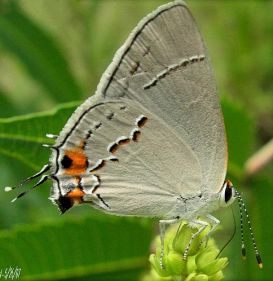 Grey Hairstreak Butterfly - Strymon melinus - female