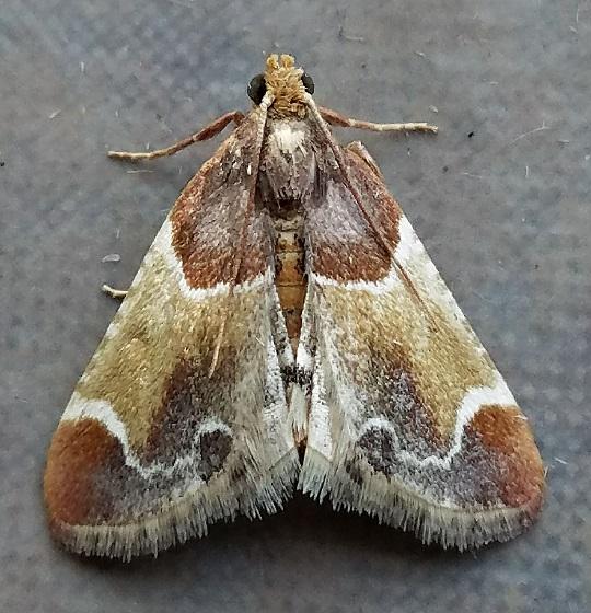 Pyralis farinalis (Meal Moth) - Pyralis farinalis