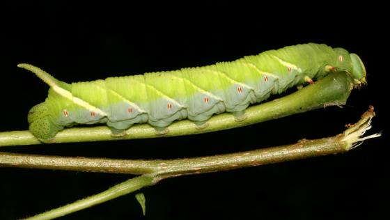 Sphingidae, larva - Ceratomia undulosa