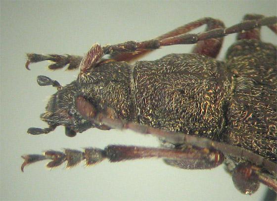 Sachalinobia rugipennis rugipennis (Newman) - Sachalinobia rugipennis