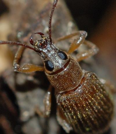 Entiminae - Cyrtepistomus castaneus