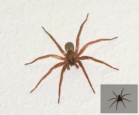 Large Indoor Spider - BugGuide Net