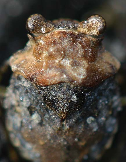Portrait of a Toad Bug - Gelastocoris oculatus