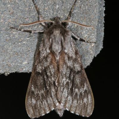 moth - Lapara bombycoides