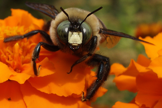 Large Carpenter Bee, Male - Xylocopa virginica - male