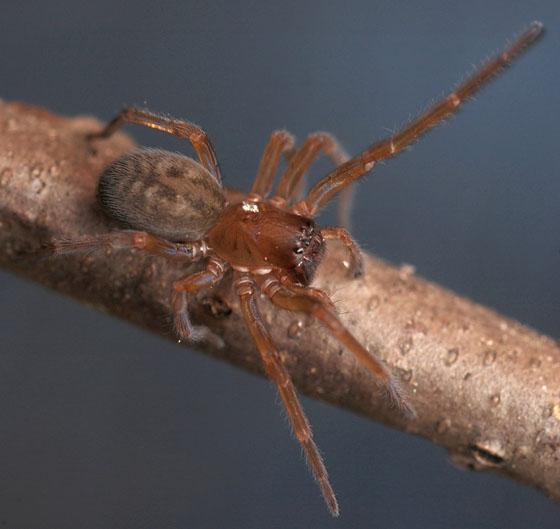 black lace weaver - Amaurobius ferox - female