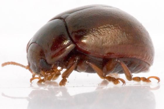 Beetle? - Chrysolina staphylaea