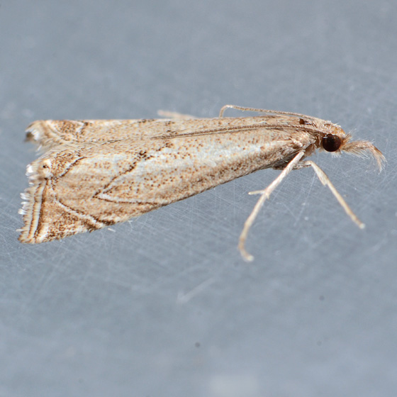 5405   - Crambus angulatus