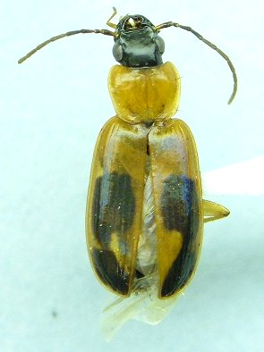 Badister - Badister neopulchellus
