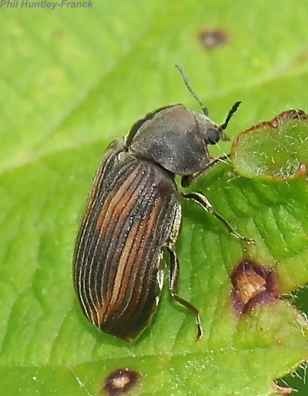 Beetle - Vrilletta decorata