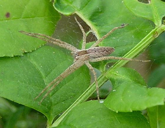 Brown Spider - Pisaurina mira