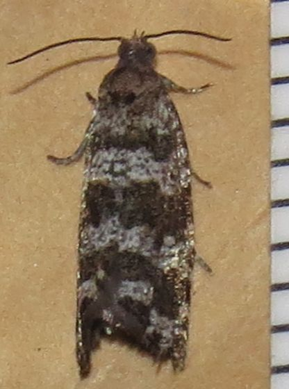 Spruce Needleminer Moth - Hodges#2745 - Taniva albolineana