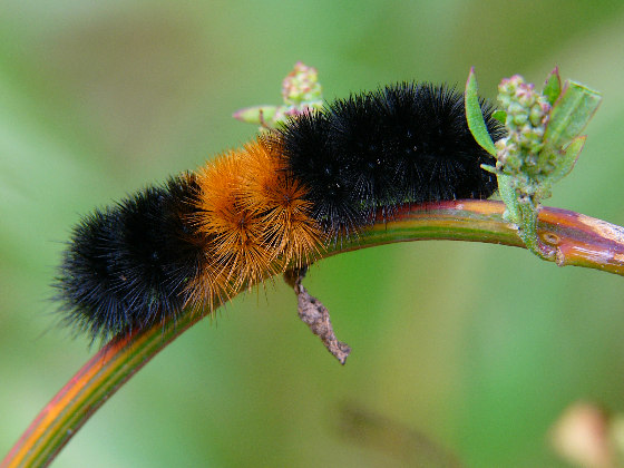 Woolly Bear - Pyrrharctia isabella