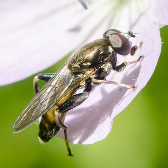 Syrphidae  ? - Xylota segnis - male