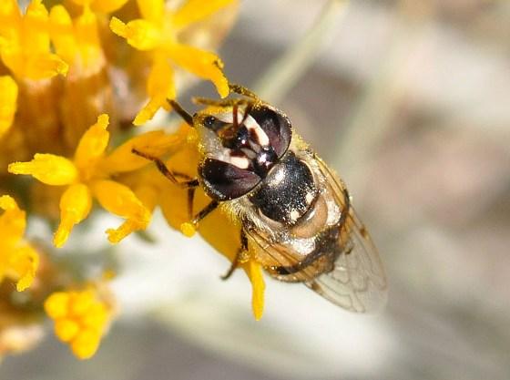 fly - Copestylum marginatum