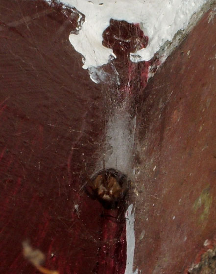 New Porchlight Spider - Zygiella - female