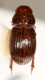Platytomus atlanticus
