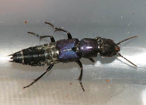 Rove Beetle - Platydracus violaceus