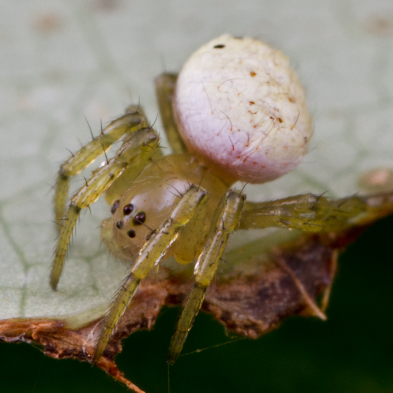 spider with white abdomen - Araniella displicata - female