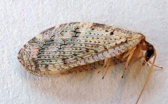 Pennsylvania Neuroptera for ID - Hemerobius humulinus