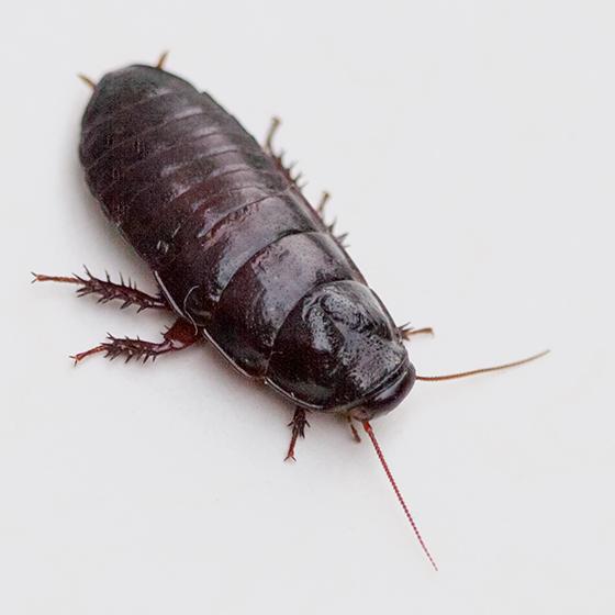 Wood Roach - Cryptocercus wrighti