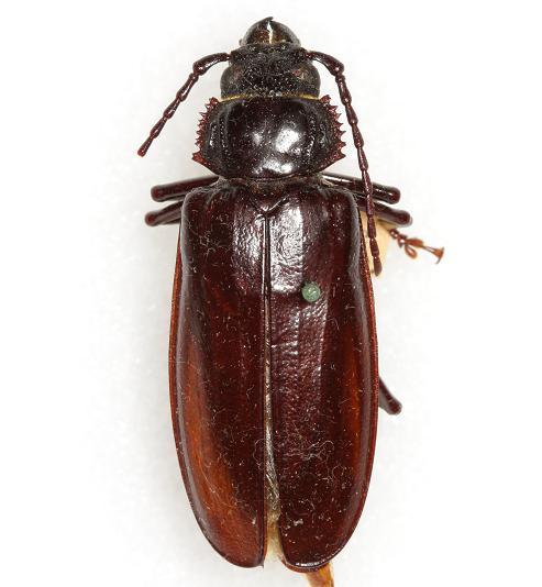 Mallodon dasystomus (Say) - Mallodon dasystomus - female