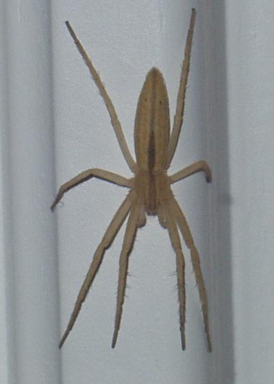 Yellow Spider Tibellus Bugguide Net