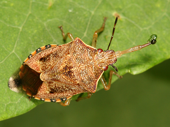 Stink Bug - Podisus