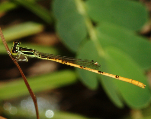 Citrine Forktail Damselfly - Ischnura hastata - male