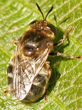Hover Fly - Microdon