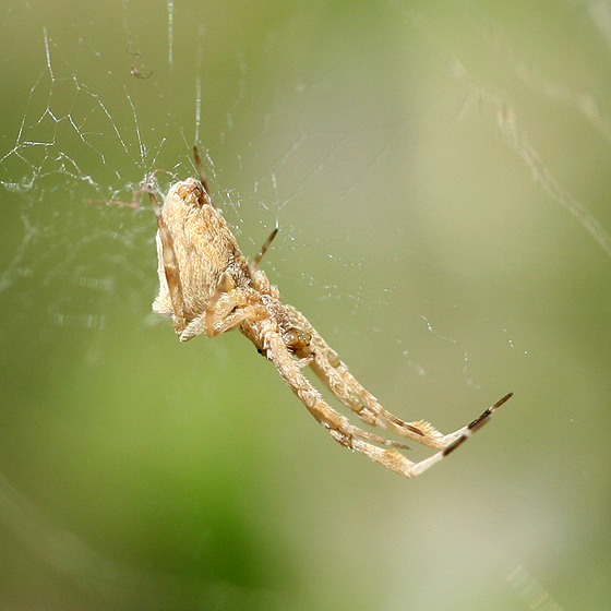 Feather-legged Spider - Uloborus diversus