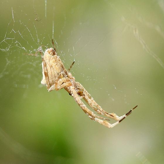 Feather-legged Spider - Uloborus diversus
