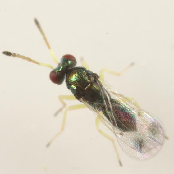 Eulophid parasitoid of Andricus gigas - Aprostocetus